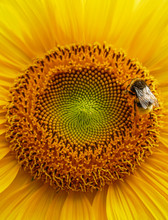 Closeup Of Bumblebee On Sunflower, Selective Focus On Bee