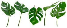 Leaf Palm,collection Of Green ...