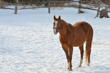 Chestnut Horse Standing Alone In Snow Covered Pasture