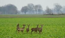 Reh,Rehwild,Rudel,Deer,Roe Deer,Herd