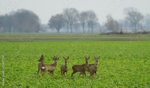 Obraz na plátně Reh,Rehwild,Rudel,Deer,Roe deer,Herd