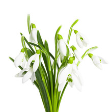 Snowdrops Isolated On White Background. Clipping Path