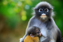 Dusky Leaf Monkey In Thailand ...