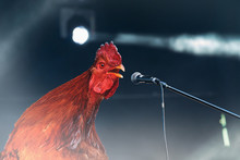 Red Rooster Singing On Stage M...