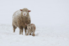 Mother Sheep And Young Lamb Standing In A Field Of Snow