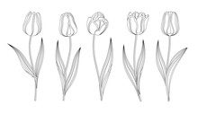 Collection Of Vector Hand Drawn Tulips With Stem And Leaf. Set Of Different Spring Flowers. Isolated Tulip Sketch Cliparts. Feather Black Lines, Tulip Buds, Blooming Flowers. Transparent Background.