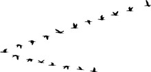 V Formation Of Birds
