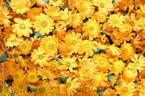 Obraz Calendula flower buds heap, summer blooming banner design, floral pattern  background texture, closeup, flat lay, from above overhead top view - fototapety do salonu