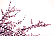 Close Up Cherry Blossom On  White Background - Stock Image. Blooming Japanese Sakura Buds And Flowers On Light Sky With Copy Space.