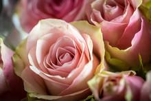 Belle Rose De Couleur Rose En ...