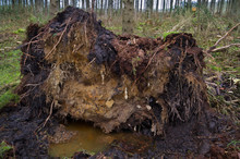 Storm Damage In A Forest: Uprooted Pine Tree