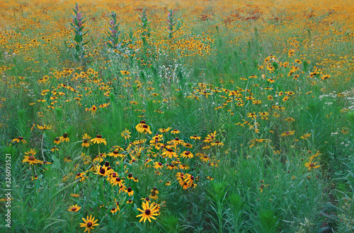 Landscape of a summer wildflower meadow, with black-eyed susans, milled, and oth Tablou Canvas