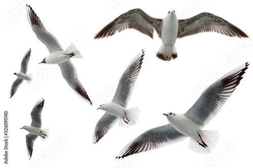 Set of seagulls flying isolated on white background Canvas Print
