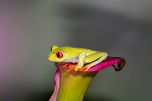 Red-eyed Green Tree Frog Sitting In A Cali Lily