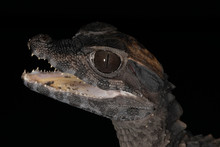 Close Up Of A Baby Caiman