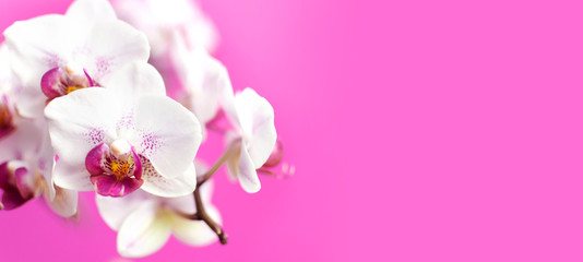 Beautiful White with pink Phalaenopsis orchid flowers on bright pink background. Tropical flower, branch of orchid close up. Pink orchid background. Holiday, Women's Day, Flower Card flat lay