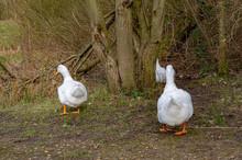 Pekin Ducks Walking Away