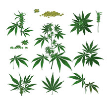 Cannabis Plants, Seeds, Branches, Dry And Fresh Green Leaves. Color Drawings Isolated On White. Vector Illustration Set For Marijuana, Hemp, Weed, Health, Drugs Concept