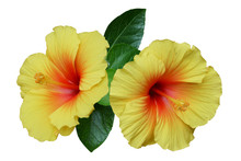 Yellow Hibiscus On White Backg...