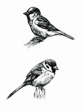 Sparrow. Line Drawings Set. Bl...