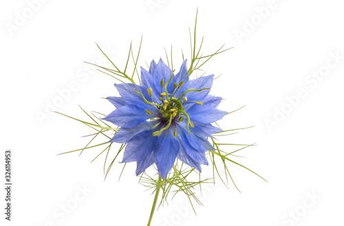 Fototapeta Nigella flower isolated obraz