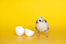 Little Chicken With Eggshell S...