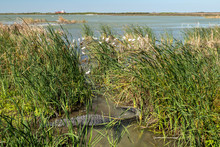 American Alligator, Alligator Mississippiensis, In Water Near Reeds And Birds On A Sunny Day In Port Aransas, Texas.