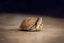 A Box Turtle With His Neck Lif...