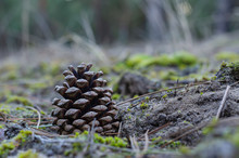 Pine Cone In The Sand. Dry Cone Without Seeds In The Sand Among The Needles And Moss. Side View. Eye Level Shooting. Selective Focus. Close-up.
