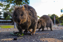 Two Quokkas Eating And Droolin...