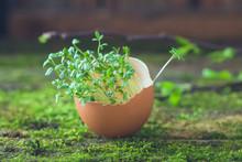 Growing Microgreens Watercress...