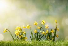 Narcissus Flower In Spring Gra...
