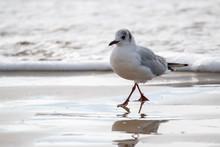 "Saint Jean De Monts, Black-headed Gull ""Chroicocephalus Ridibundus"" On The Beach, Legs In The Water."