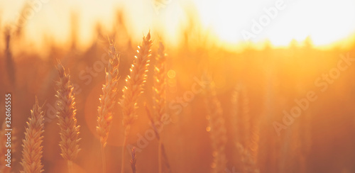 Fototapeta Barley field background in sunlight. Harvest season and agriculture business concept. obraz