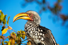 Closeup Of Hornbill Bird With ...