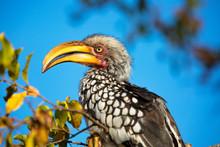 Closeup Of Hornbill Bird With ...