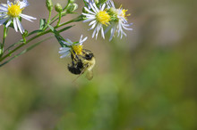 A Bumble Bee Insect Collecting...