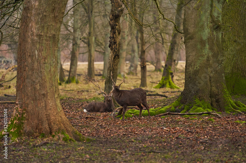White-tailed deer foraging in park near Copenhagen Canvas Print