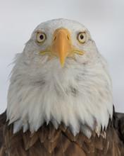 Bald Eagle Closeup Portrait Ag...