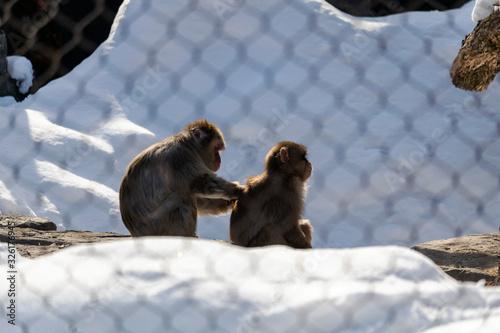 Valokuvatapetti Macaque Japonais en hiver au zoo de Granby, Québec Canada