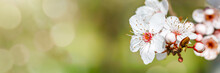 Flowers Of A Wild Plum Tree In...