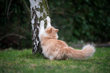 Ginger White Maine Coon Cat Sc...