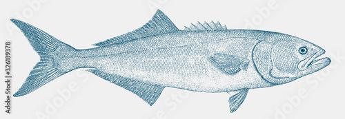 Fotografía Bluefish, pomatomus saltatrix, a threatened marine fish in side view