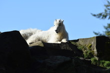 Young Mountain Goat Resting On...