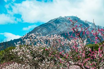 南立石公園の梅