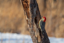 Red-bellied Woodpecker On Old ...