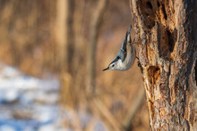 White Breasted Nuthatch Perche...