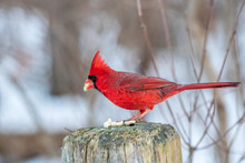 Northern  Cardinal Eating Seed...