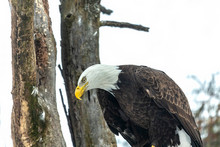 Eagle. Bird Of Prey. Bald Eagle .Photo Taken At A Rescue Station In Wisconsin