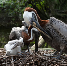 Mom And Dad Brown Pelicans Wit...